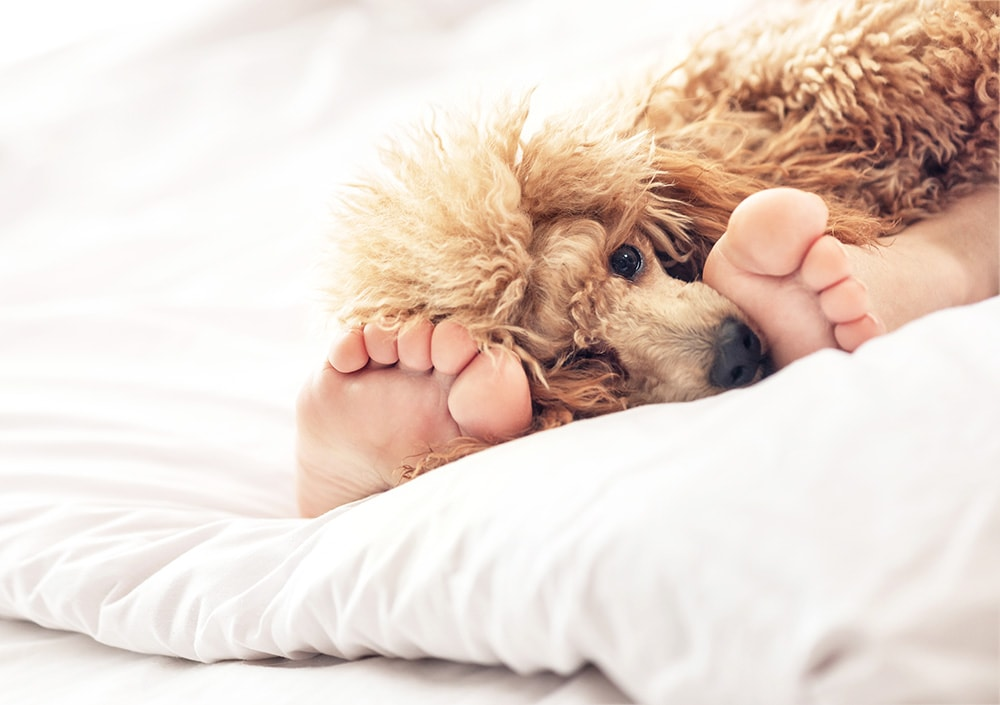 Cute dog on a bed: Become a dog walker is a great way to make money from home!